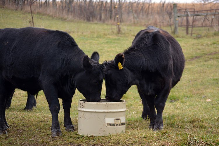 Cows licking Supplement in a Barrel