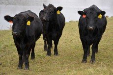 Healthy Group of Beef Cattle