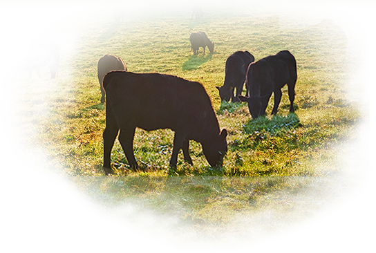 Fescue Toxicity Supplement for Beef Cattle.