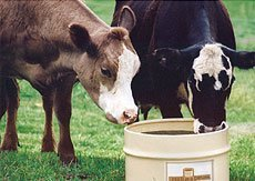 Cattle enjoying magnesium supplement