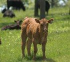 Beef Cattle Calf