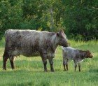 Beef Cattle Cow & Calf