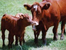 Beef Cattle Cow & Calves