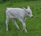 Albino Beef Cattle Calf