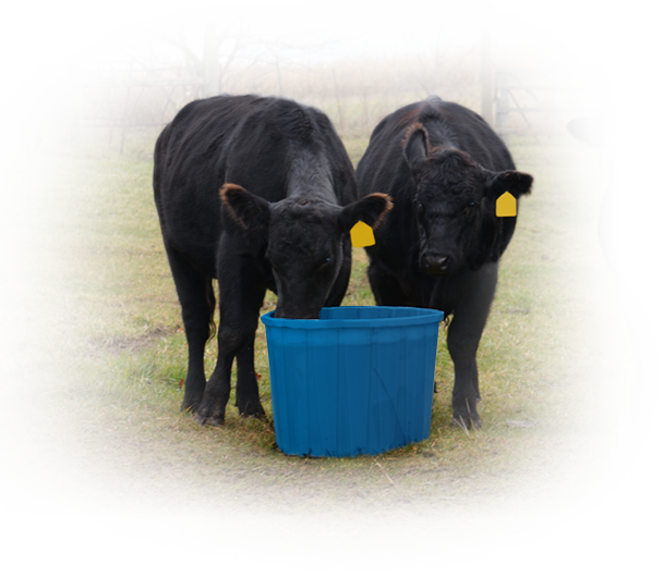 Cows eating out of Blue Drum