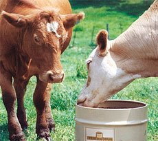 Cows using The Feed in a Drum block