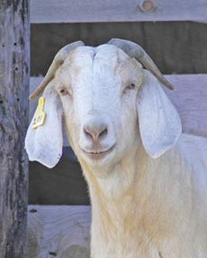 Feeding Forages for Goats