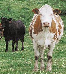 Forage-fed Cattle